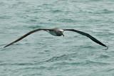 Salvin's albatross 0208