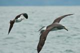 Salvin's albatross 0220