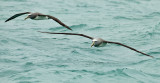 Salvin's albatross 0238.jpg