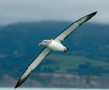 Salvin's albatross 0240