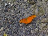 mariposa anaranjado