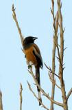 Rufous Treepie (棕腹樹鵲)