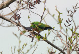 Orange-bellied Leafbird (橙腹葉鵯)
