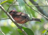 Nepal Rosefinch (��Šá?紾)