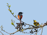 Male and female Minivet