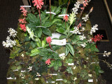 20082284 - Exhibit of Jewel Orchids Hossier Orchids