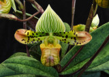 20106710    Paph. venustum 'Bloomin Fool' HCC/AOS 78 pts.