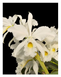 20085914 - C. warneri 'Claire' AM/AOS  83 pts,