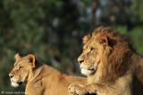 Lions siesta