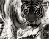 Tiger in B&W