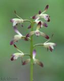 Puttyroot  Aplectrum hyemale