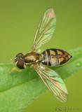 Flower Fly Toxomerus marginatus