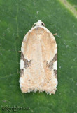 Acleris cervinana  #3514