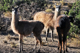 Llamas milling around our camp in the morning