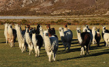 Alpacas heading to pasture in the morning near the community of Tahua on the northern shore of the Salar de Uyuni.