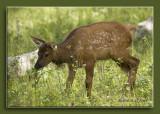 Baby Elk.jpg