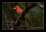 Male Northern Cardinal.jpg