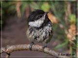 Chickadee-baby.jpg