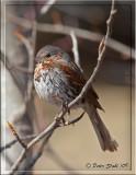 Fox-Sparrow.jpg