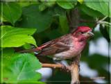 Purple-Finch.jpg