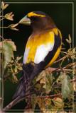 Evening-Grosbeak-Male.jpg