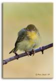 Baby-warbler.jpg