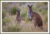 Kangaroo-mom--joey-jpg