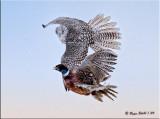 Gyr-&-pheasant2.jpg
