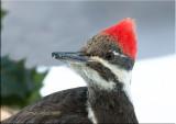 Pileated-woodpecker-portrait.jpg