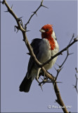 Red Crested Cardinal .jpg