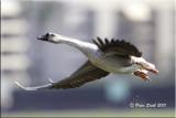 Chineese goose.jpg
