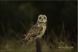 Pueo Hawaiian Short ear owl.jpg