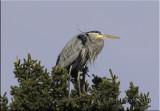 great blue heron top of spruce.jpg