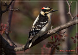 Downy-Woodpecker.jpg