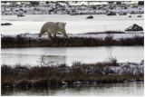 Polar bear Hudson Bay.jpg