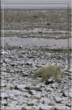 Polar Bear Low Tide.jpg
