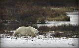 Polar Bear on the move.jpg
