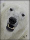 Polar Bear close up-Edit.jpg