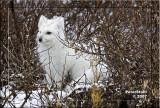 Artic Fox .jpg
