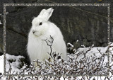20071025-Artic Hare-Edit.jpg