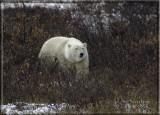 Huge male polar bear-.jpg