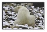 Polar bear over the shoulder.jpg