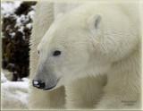 polar bear portrait 2.jpg