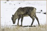 Woodland Caribou.jpg