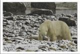 Polar bear and snow.jpg