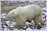 Polar bear motion.jpg