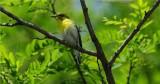 Vireo, Yellow-throated (Vireo flavifrons)