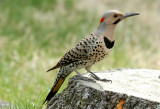 Northern Flicker - Male (Colaptes auratus)