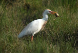 Cattle Egret (Bubulcus ibis)