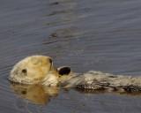 Sleeping Otter, Elhorn Slough